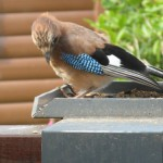 A beautiful Jay coming for bird seed in Bronaber, North Wales.